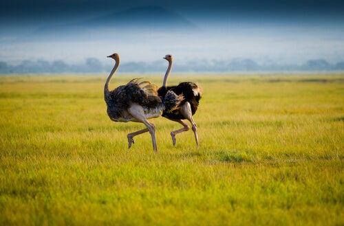 Two ostriches in the savannah.