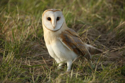 A close-up of a white owl.