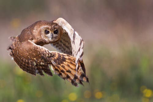A photo of an owl in mid-flight.