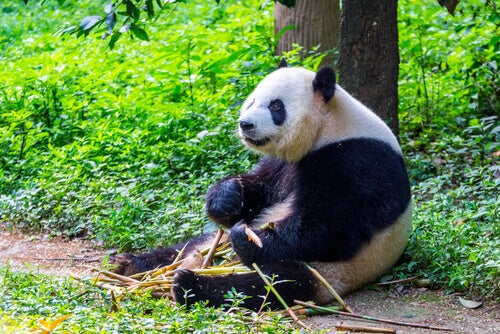 A panda bear.