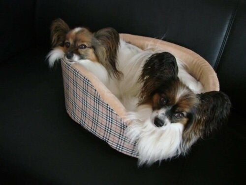 The Continental Toy Spaniel is an old dog breed.