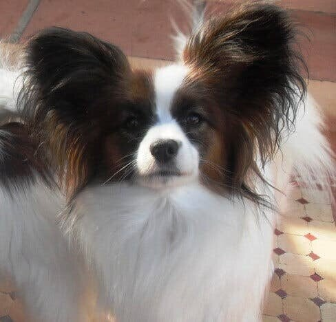 The Papillon or Continental Toy Spaniel