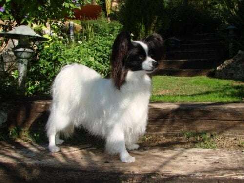 The Continental Toy Spaniel has a proportional head.