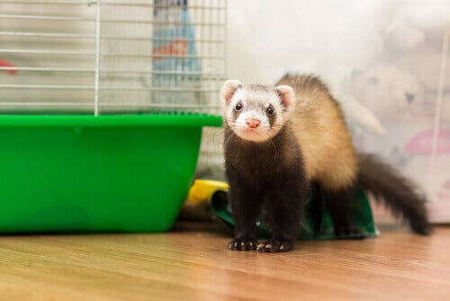 Considerations Before Having a Ferret as a Pet