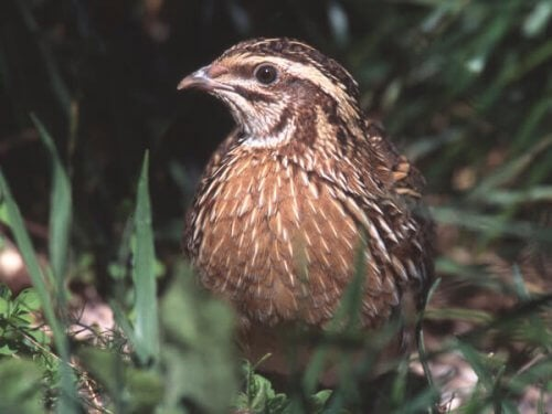 Quail Breeding: Care and Advice