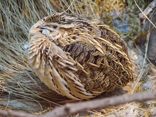 A quail chick.