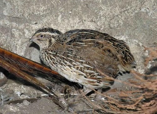 A quail.