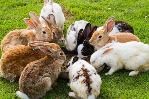 Rabbits eating from a bowl.