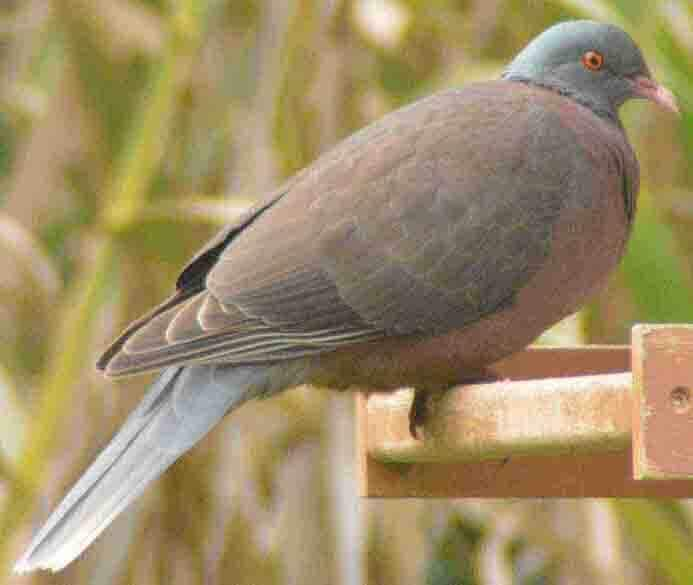 A species of pigeon that lives in the Canary Islands.