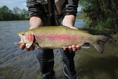 A fisherman with a rainbow trout.