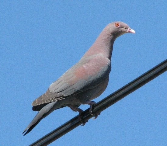 A species of pigeon that inhabits North and Central America.