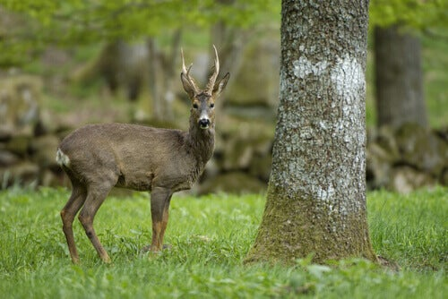 A red deer in the forest.