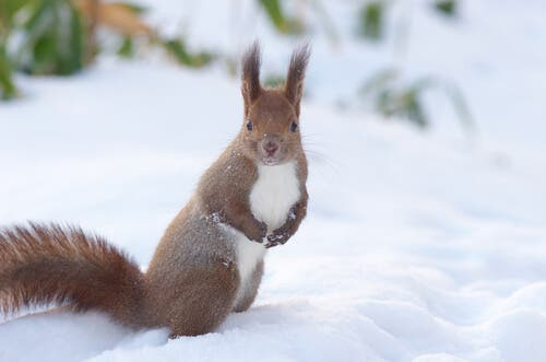 One of the many types of squirrels is the red squirrel.