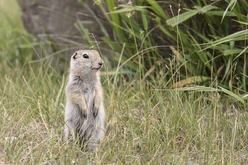 A Richardson's ground squirrel standing in a field.
