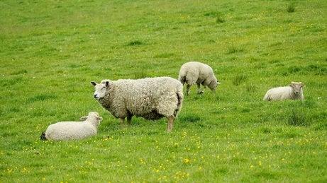 Sheep are ruminant animals.