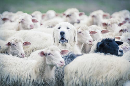 A dog surrounded by sheep.