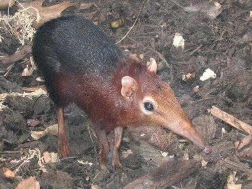 A shrew.