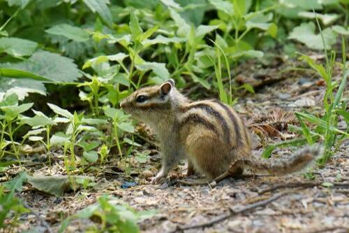 A Siberian chipmunk in some grass.