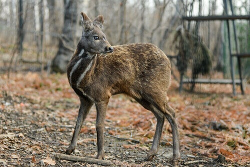 A picture of a siberian deer.