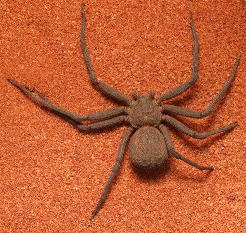 A sicarius spider.