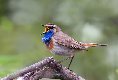 The song of the nightingale can be to attract mates.
