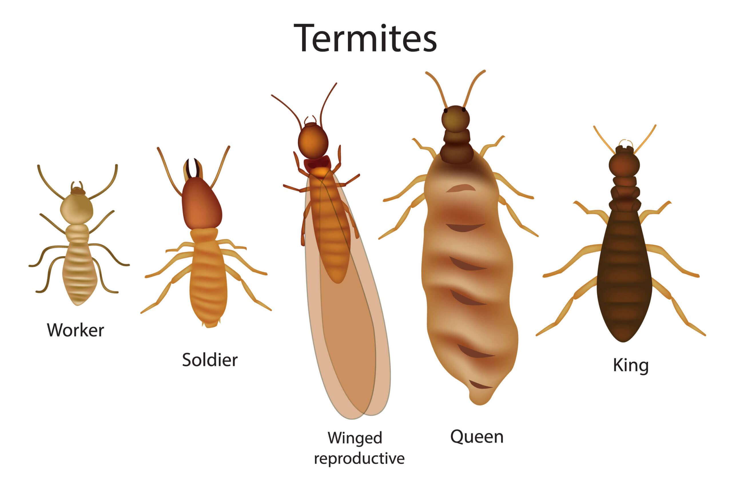 Termites divide into castes.