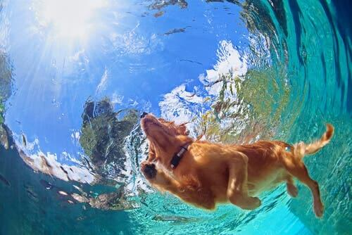 A swimming pool is a good place to teach your dog to dive.