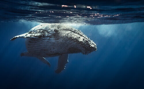 A whale under the water.