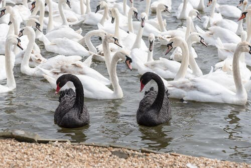 Differences between Black and White Swans