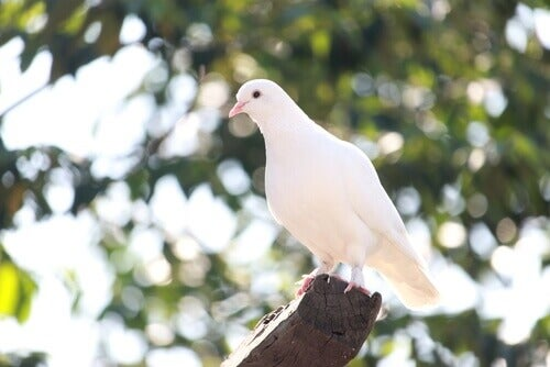 A white-colored pigeon.