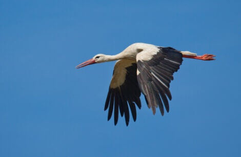White stork migration is long and difficult.