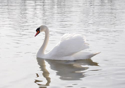 A swimming white swan.
