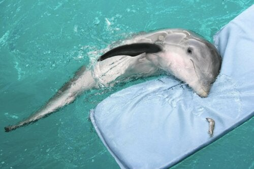 Winter the dolphin was trapped in a fishing net.