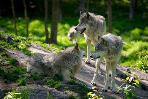 Three wolves on a rock.