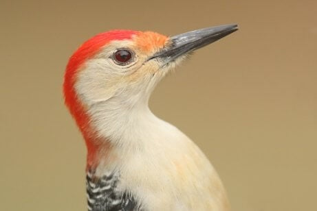 The woodpecker has evolved to be able to hit trees without harming themselves.