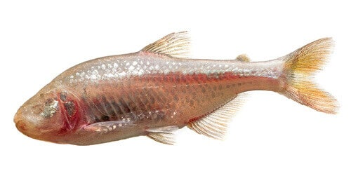 A dry fish.