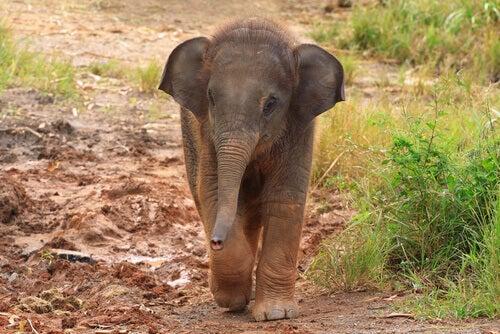 A baby elephant.