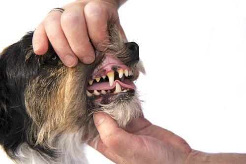 A person examining a dog's teeth.