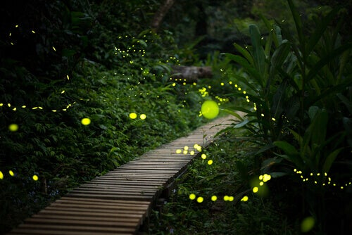 The habitat of fireflies.