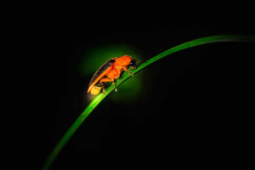 A firefly on a blade of grass.