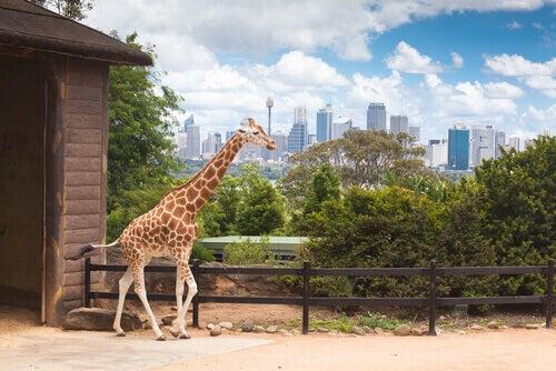 A giraffe in the zoo.
