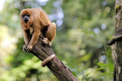 A dominant male monkey.