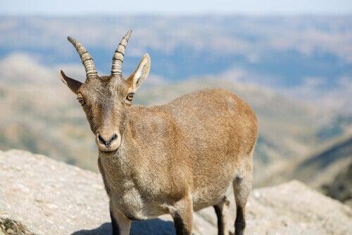 A mountain goat.