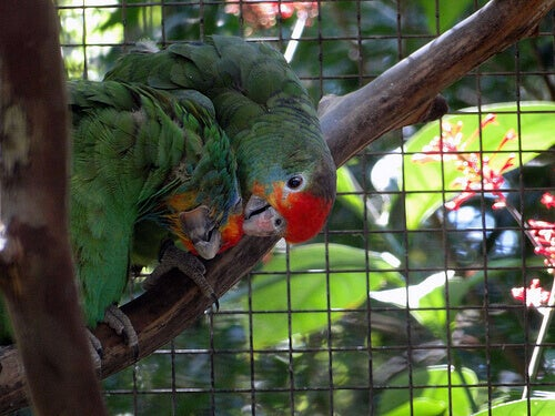 Two parrots in a cage.