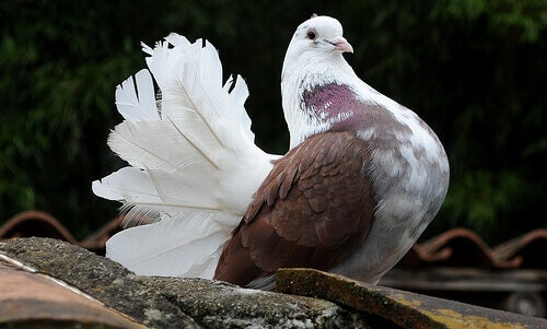 A pigeon on the ground.