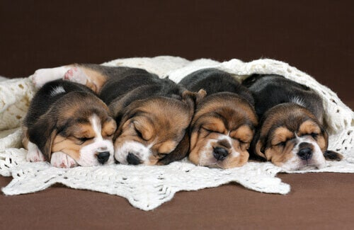 Four sleeping puppies.