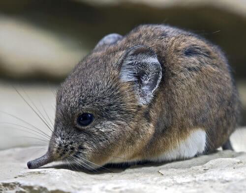 A tiny shrew perched on a rock.