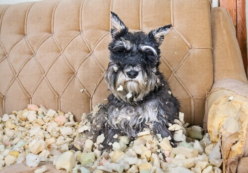 A dog after destroying a couch.