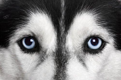 A closeup of a Husky.