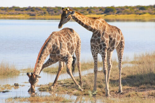 Discover Nine Different Giraffe Species